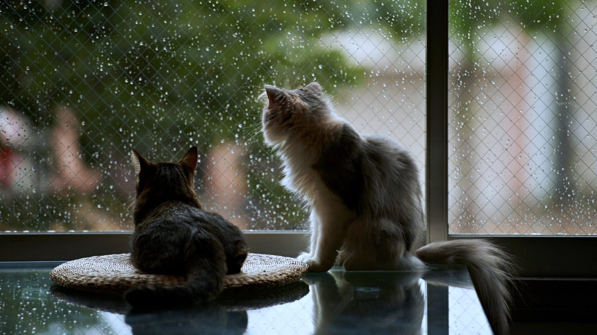 This is a photo of 2 cats sitting on a table looking outside at the rain, sorry they can't go out. It is meant to illustrate the article about new tax rules which have a negative effect on the current housing market.